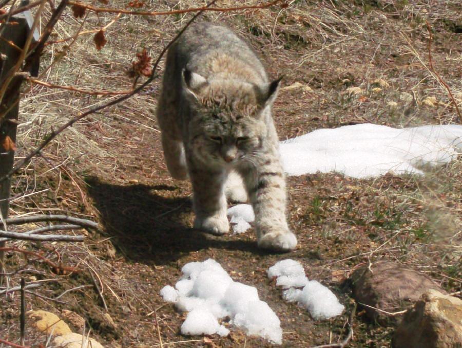 A little bobcat, just waking up.
