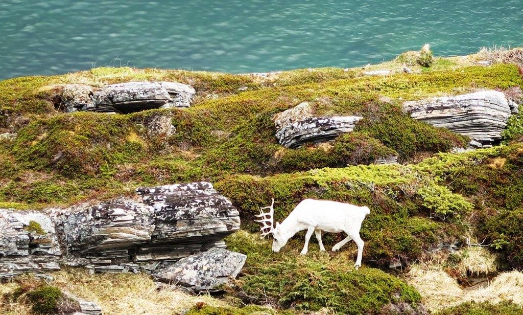 Alff white caribou